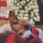 Do Corgis Wait Up For Santa Claus?