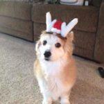 A Corgi-licious Seniors' Christmas!