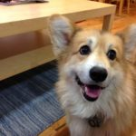 How To Corgi On In 2018!