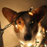 (Nearly) Wordless Wednesday: Let There Be Lights (and Disapproving Corgis!)