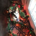 Day 8 of Twelve Big Beautiful Days of Christmas Corgis