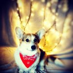 Day 3 of Twelve Big Beautiful Days of Christmas Corgis