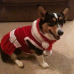 Your Christmas Corgi Photos — Day Five