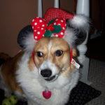 Your Christmas Corgi Photos — Day One