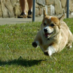 Who says Corgis can't fly?