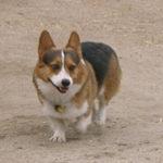 Missing dog:  Bear of California.