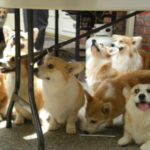 Pics — The 2010 Pacific NW Corgi Picnic!