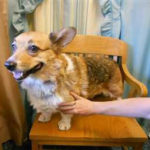Adoptable Corgi in Oregon:  Miss Courtney
