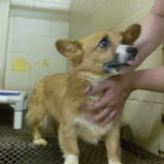 Georgia Corgi Girl in need of adoption ASAP!