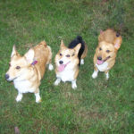 Middle Tennessee Corgi Rescue