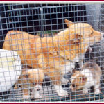 Your help needed:  Missouri puppy mill closure / rescue operation.
