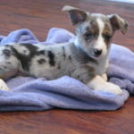 Puppy Cam:  Blueberry Waffles