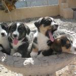 Puppy Cam:  Four lil' Cardis!