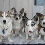 Ivy, Olwyn, Saiorse and Brychan:  Canadian Corgipants!