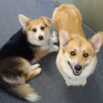 Scotty and Alice of Australia:  International Corgipants!