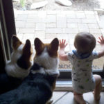 Kids n' Corgis Cam:  Frankie, Ein and Dylan!