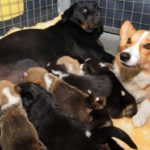 Rottweiler becomes surrogate Mom to Corgi pups!