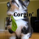 LOL Corgis!