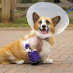 Bionic Corgi Cam:  Jolly!