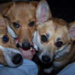 Corgi Power x 3: Bridie, Ellie and Dewey!