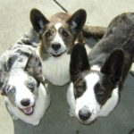 Cardi Cam:  Crystal, Cooper & Frodo in The Bark!