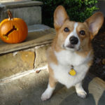 Corgis n' Pumpkins Saturday!