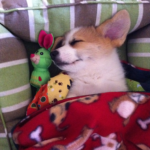 This week on the blog:  Sleeping Corgis!