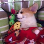 This week on the blog:  Sleeping Corgis!