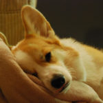 Sleeping Corgis — Week Three!