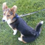 Wednesday Adoptable:  Ollie of Idaho!