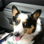 (Not So) Wordless Wednesday:  Smiles for Corgis!