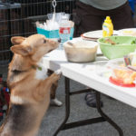 August 4th:  The Annual Pacific Northwest Corgi Picnic!