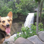 Catching Up with CorgiPals: Penny of Minnesota!