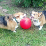 No Corgis Were Hurt in the Making of this Picture …