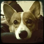 Catching Up with CorgiPals: Corgi Math!