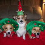 Wanted: Your Christmas Corgi Photos!