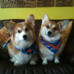 Corgi Plus One: The Joys of Multiple Pets!