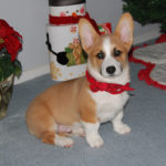 It's Christmastime: Corgi On!