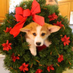 It's Christmas: Corgi On!