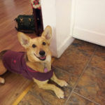 Coat Check: A Tale of Two Corgis!