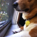 Corgi In The Window: Izzy!