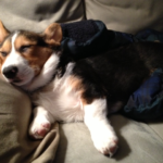 Sweet Corgi Dreams, Beau …