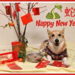 Corgi Kiko: Happy Lunar New Year!