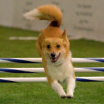 Corgi On Course: Keebler!