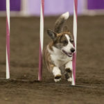 2013 Agility Nationals: Corgis Represent!
