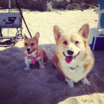 Saturday Smilers: Templeton, Phoebe + 138 Corgis!