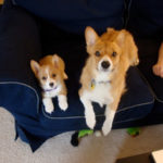 Big Corgi, Little Corgi: Dexter and Violet!