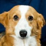 Catching Up With CorgiPals: We Are the Champions