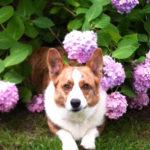 Cardi Love: Bernie and His Hydrangeas