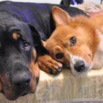 Corgis n' Friends: Little Dog, Big Dog!